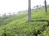 Singara tea estates