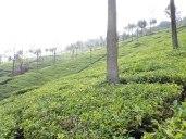Singara tea estates
