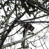 Indian giant squirrel spotted on the way to Coonoor