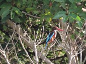 Kingfisher spotted near Someshwara beach