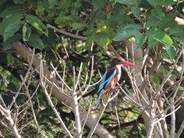 Kingfisher spotted near Someshwara beach