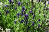 The lavendars!